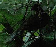 Pénélope unicolore