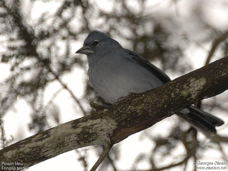 http://georges.olioso.oiseaux.net/images/pinson.bleu.geol.3g.jpg