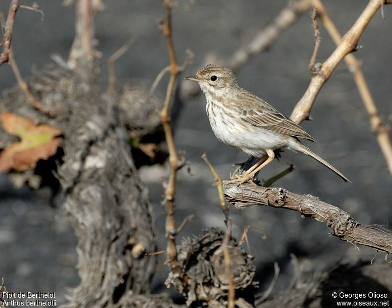 Pipit de Berthelot adulte, identification, Comportement