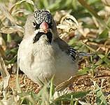 Sporopipe squameux