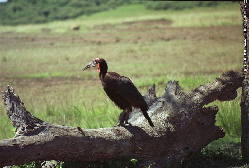 Bucorve du sud ref gecu126761 for Oiseaux du sud de la france