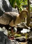 Ibis des Andes