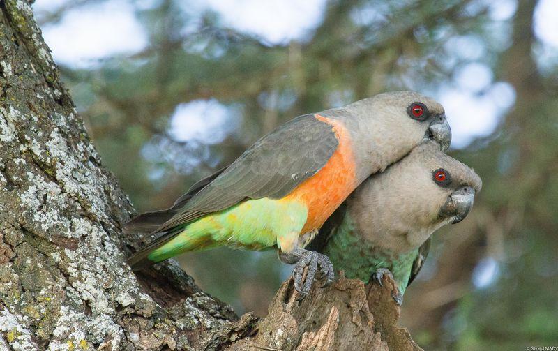 Crvenotrbi poicefalus papagaj Perroquet.a.ventre.rouge.gema.1g