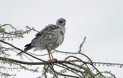 Autour à ailes grises