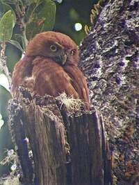 Chevêchette du Costa Rica