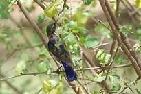 Souimanga du Kenya