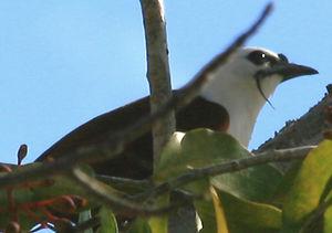 Araponga tricaronculé