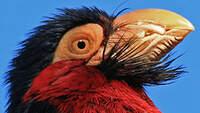 Barbican à poitrine rouge