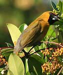 Cardinal à ventre blanc