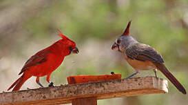 Cardinal vermillon