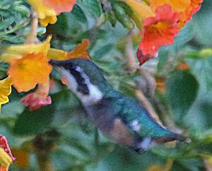 Colibri des Santa Marta