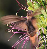Colibri étincelant