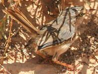 Dromoïque du désert