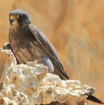 Faucon concolore