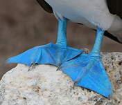 Fou à pieds bleus