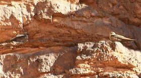 Hirondelle du désert