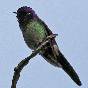 Colibri à petit bec