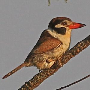 Tamatia chacuru