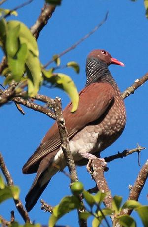 Pigeon ramiret