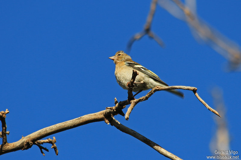 Pinson des arbres femelle adulte ref gevi198451 - Arbre africain en 7 lettres ...