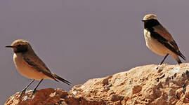 Traquet du désert