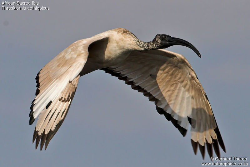 African Sacred Ibis , Flight
