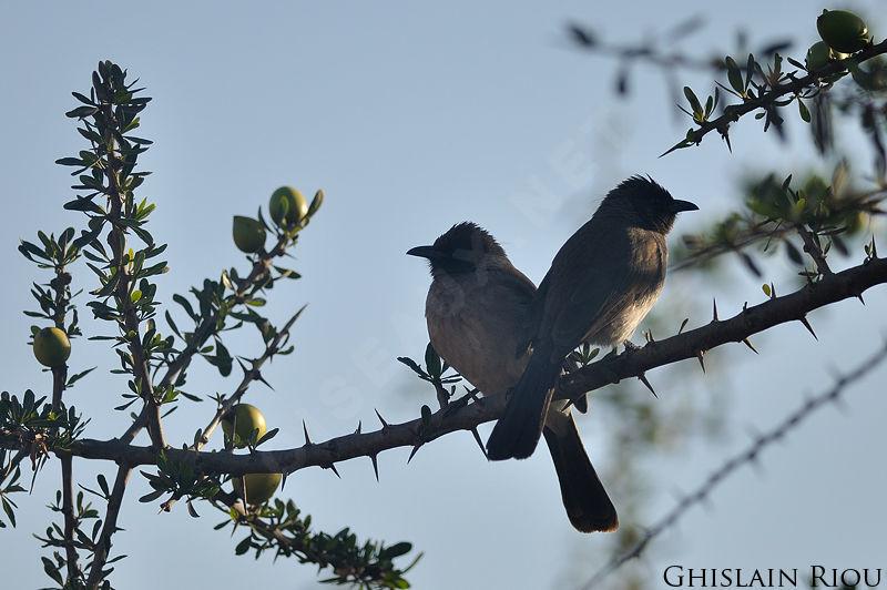 Common bulbul pycnonotus barbatus ref ghri153537 for Oiseaux des jardins