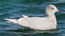 Goéland à ailes blanches