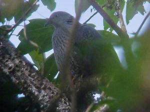 Pigeon de Hodgson