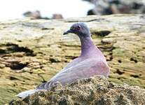 Pigeon rousset
