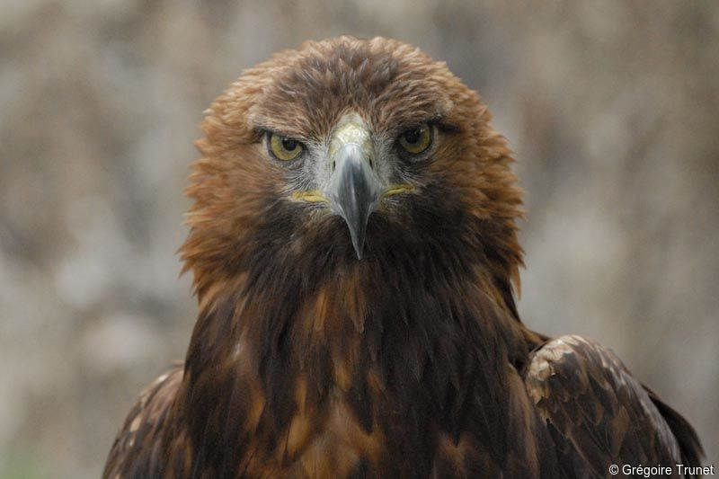 Aigle royal photos page 1 - Comment dessiner un aigle royal ...