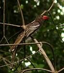 Calao pygmée