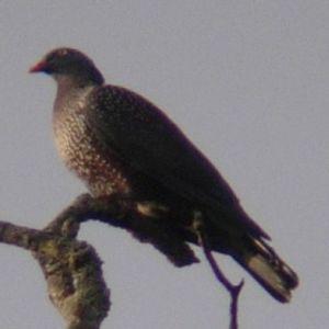 Pigeon du Cameroun