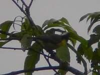 Mésange de Taiwan