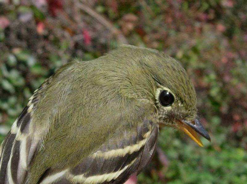 Moucherolle ventre jaune ref gupa16493 for Oiseau ventre jaune
