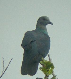 Pigeon à nuque bronzée
