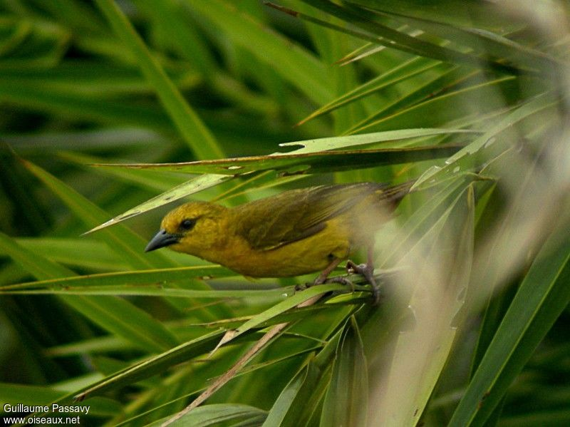 http://www.oiseaux.net/photos/guillaume.passavy/images/tisserin.a.bec.grele.gupa.5g.jpg