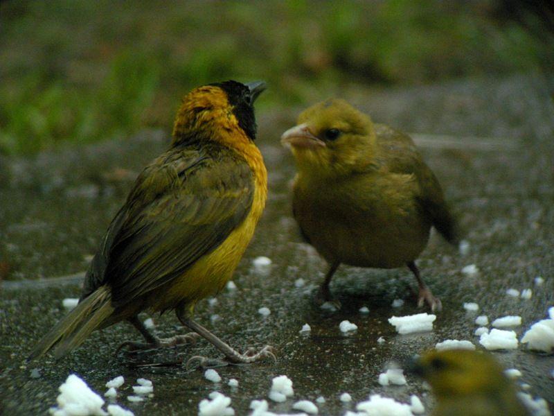http://www.oiseaux.net/photos/guillaume.passavy/images/tisserin.a.bec.grele.gupa.8g.jpg