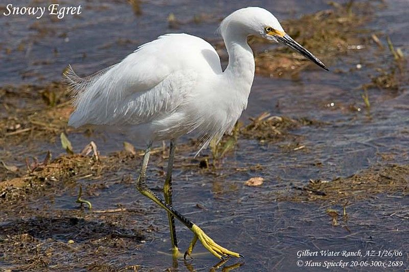 Snowy Egret First year