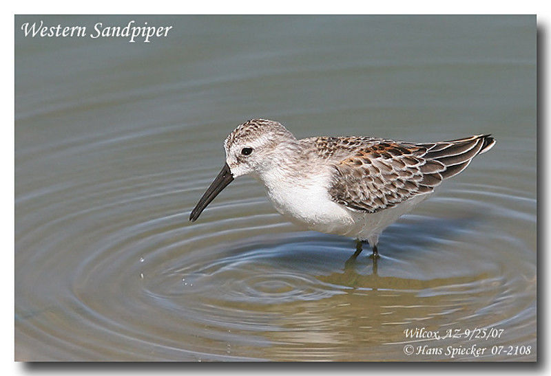 Western Sandpiper adult post breeding