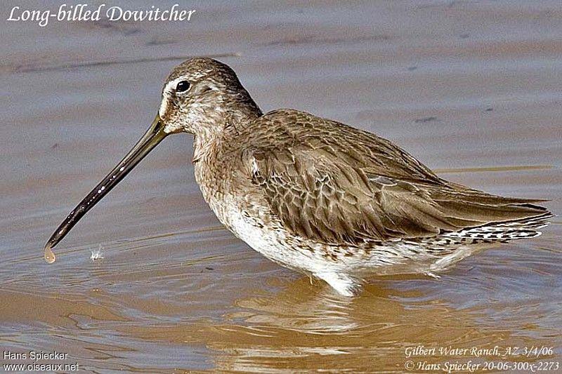 B cassin long bec ref hasp17649 for Oiseau long bec