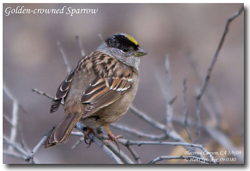 Golden-crowned Sparrow adult