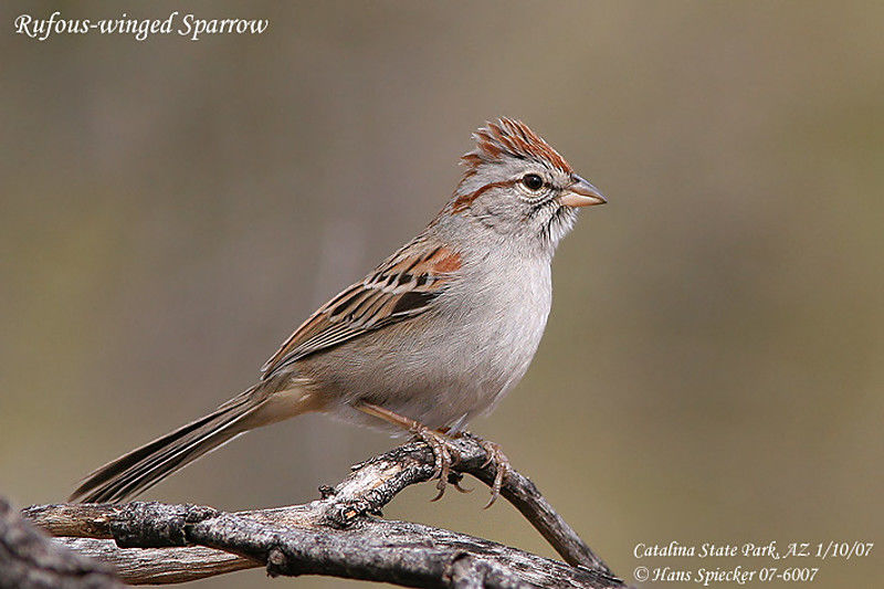Rufous-winged Sparrow adult