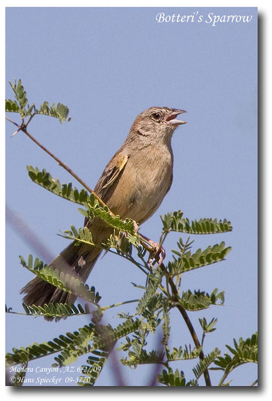 Botteri's Sparrow adult