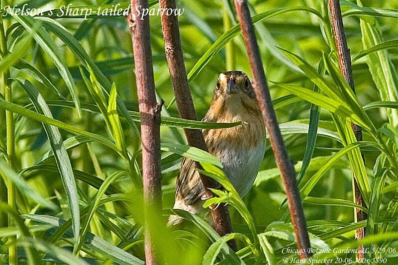 Nelson's Sparrow adult