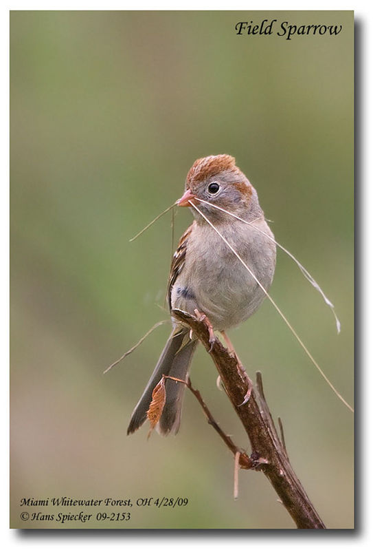 Field Sparrow adult, identification