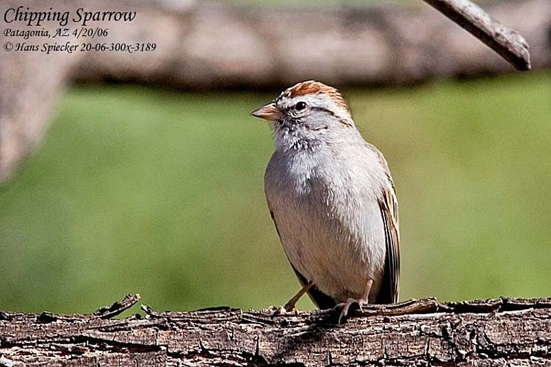 Chipping Sparrow male adult
