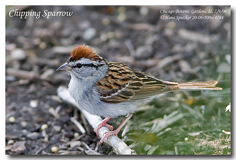 Chipping Sparrow adult
