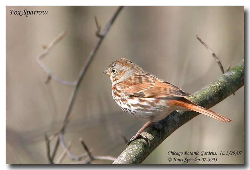Red Fox Sparrow adult