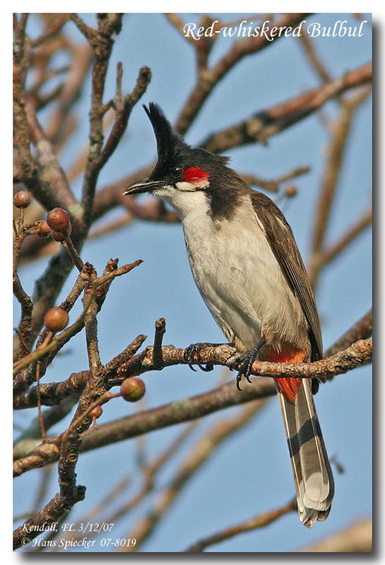 Red-whiskered Bulbul adult